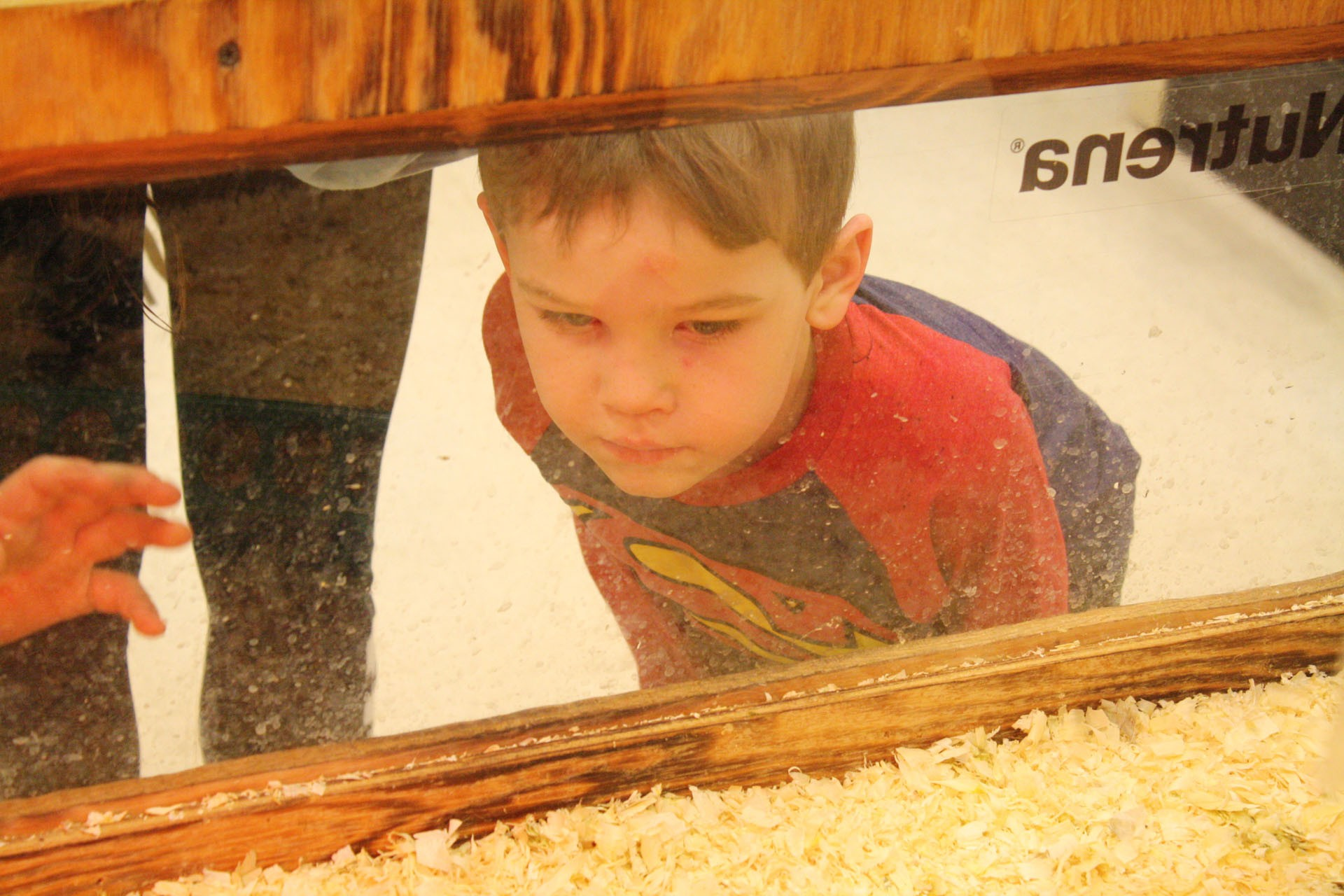 <strong>Roddy Friend, 6, looks through the plastic window at some of the chicks that had been delivered Wednesday morning.</strong>